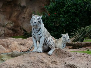 Tigre bianca del bengala