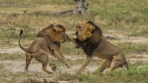 Cecil, il leone dello Zimbabwe