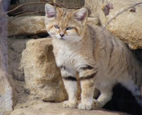 gatto delle sabbie felis margarita