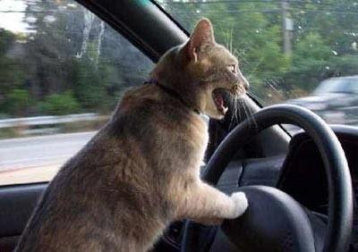 gatto al volante