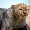 yaguarondi gatto selvatico