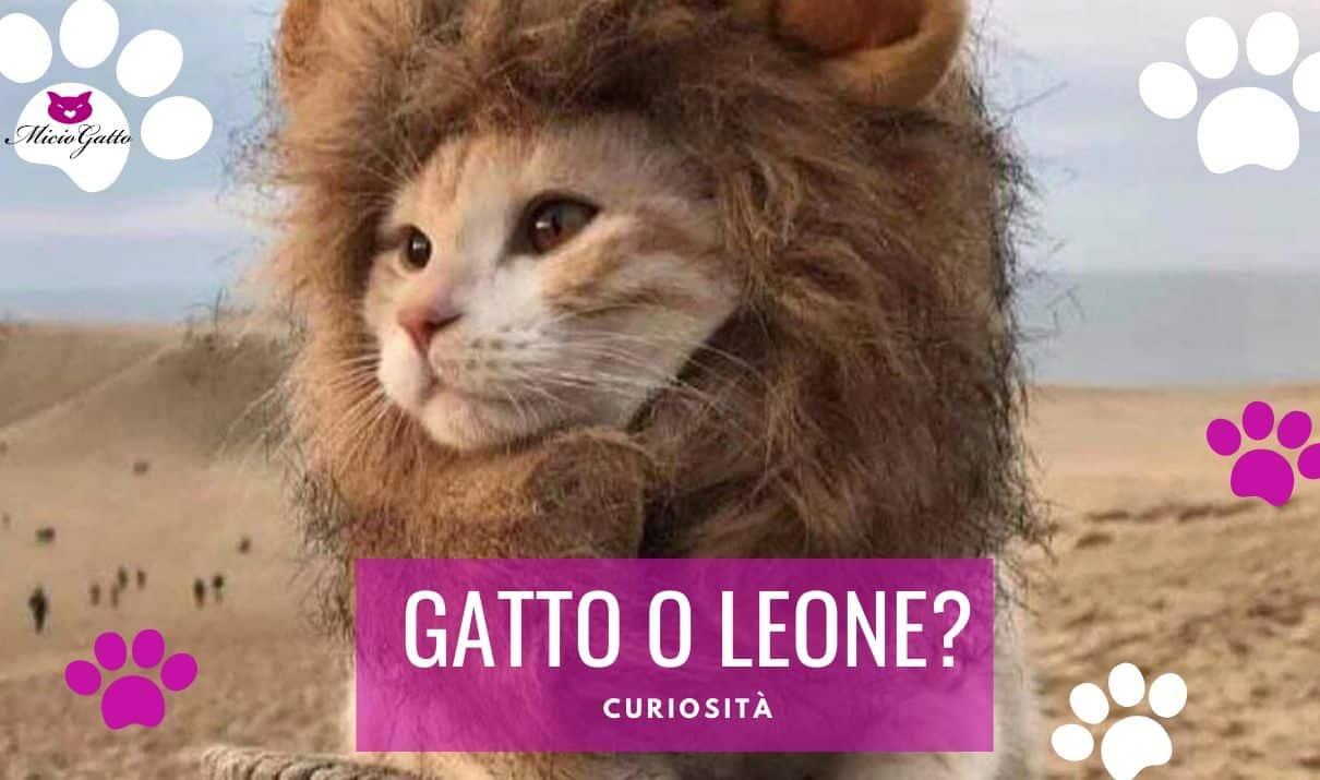 gatto leone in miniatura