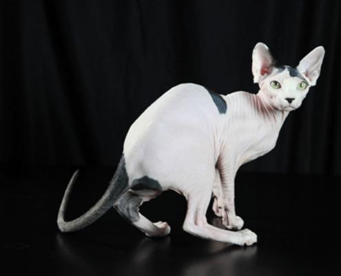 gatto senza pelo gatti nudi