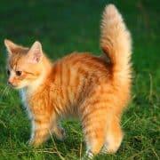 Iperestesia felina