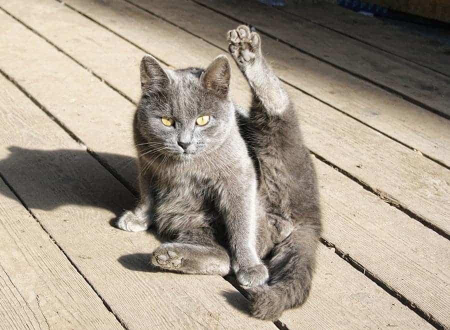Il Gatto Si Lecca Continuamente Freneticamente Ed In Modo