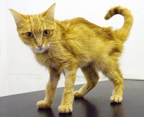 cat-with-Renal-Failure