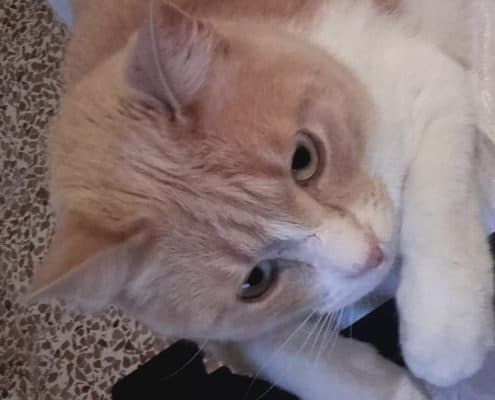 gatto Scheggia e la FELV