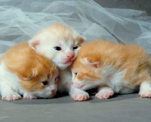 Cuccioli di gatti