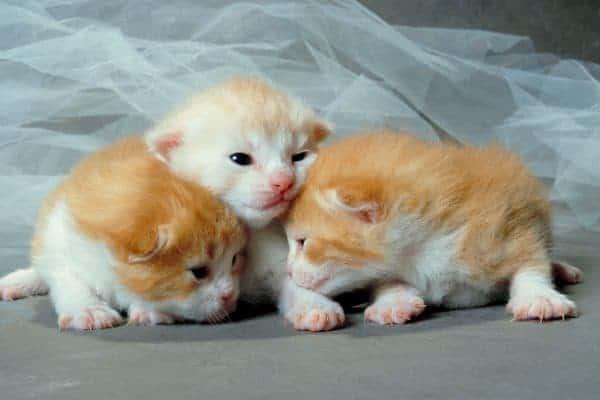 Cuccioli di gatto appena nati come comportarsi e cosa fare
