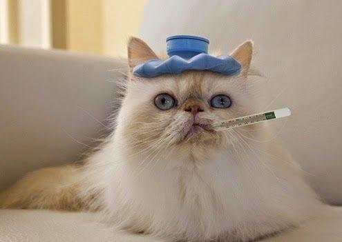 Risultati immagini per gatto con termometro in bocca