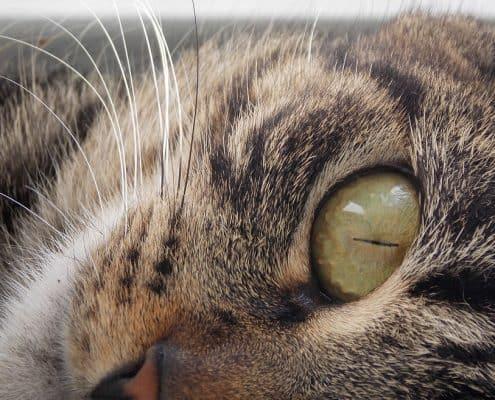 Perché i gatti fanno le fusa