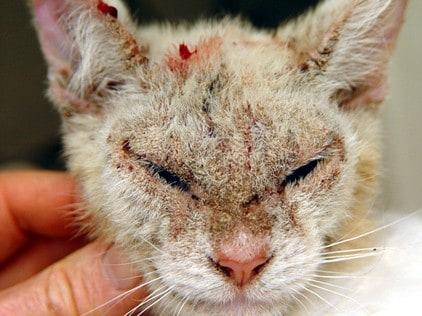 Rogna sarcoptica o scabbia del gatto
