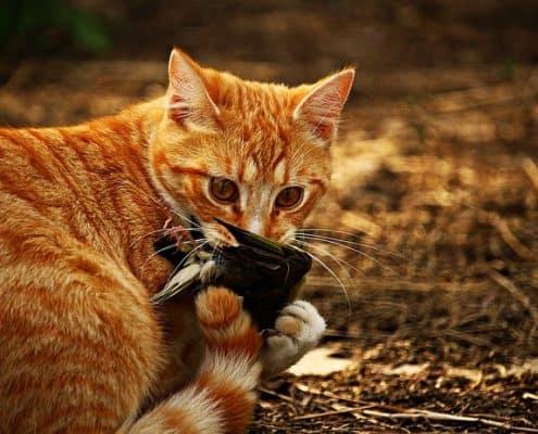Un gatto che morde la preda