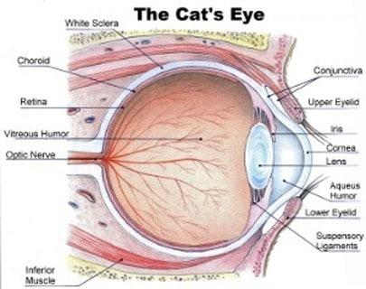 Anatomia dell'occhio del gatto
