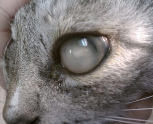 Gatto con occhio velato