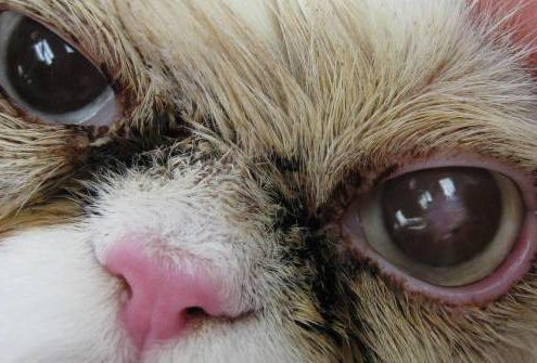 Gatto con ulcera corneale