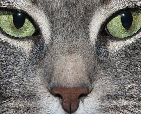 Malattie degli occhi del gatto: sintomi e cure