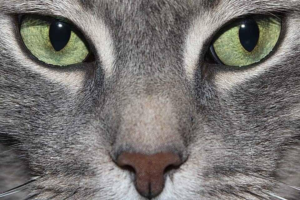 Malattie Degli Occhi Del Gatto Sintomi E Cure Miciogattoit