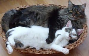 Inserire un nuovo gatto: far fare amicizia a due gatti
