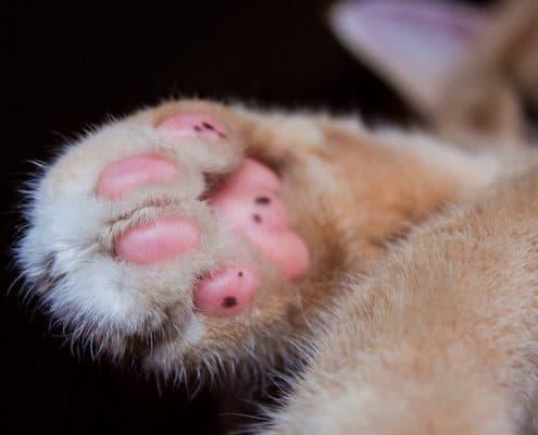 Zampa del gatto