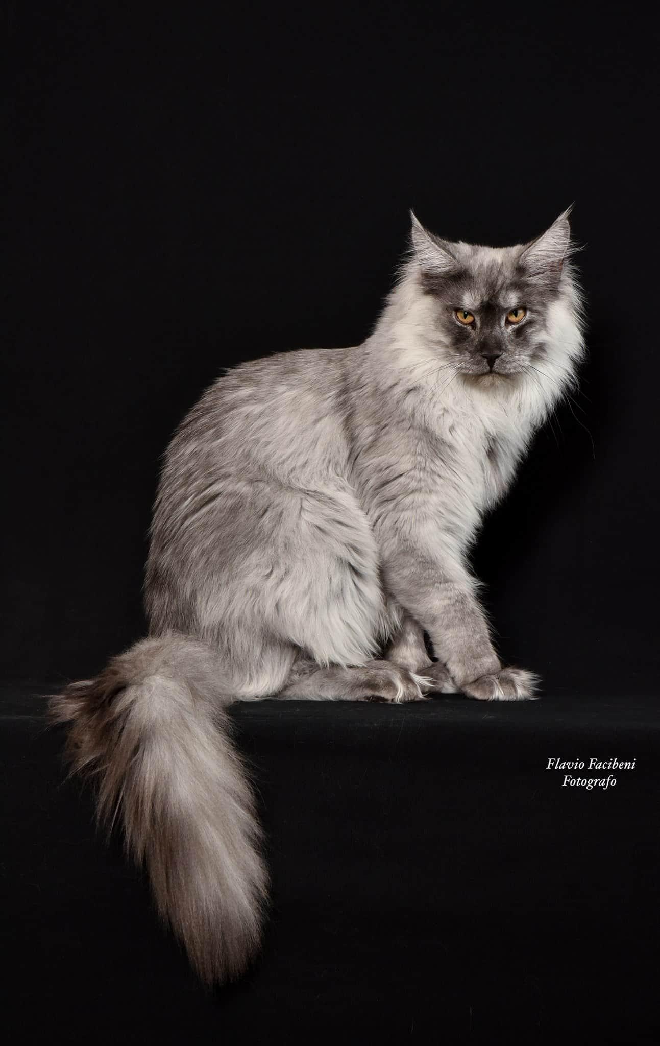 Maine coon il gatto del maine - Foto Flavio Facibeni
