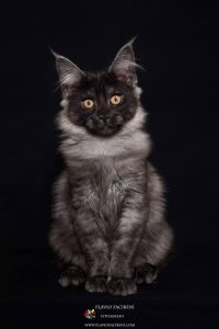 gatto Maine Coon Foto Flavio Facibeni
