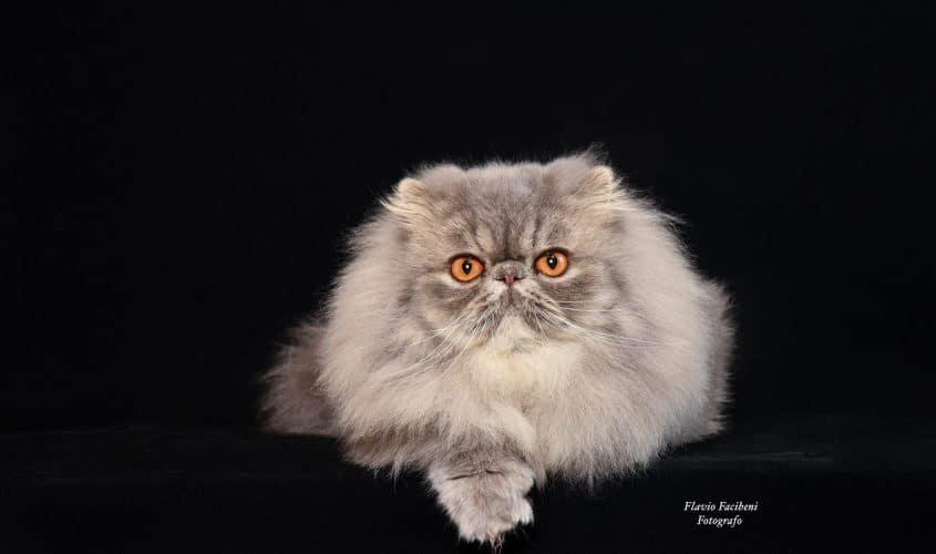 gatto Persiano - Foto Flavio Facibeni