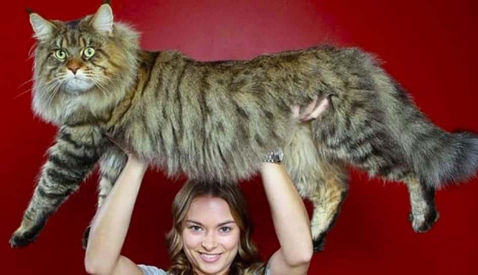 Rupert il gatto più grande del mondo