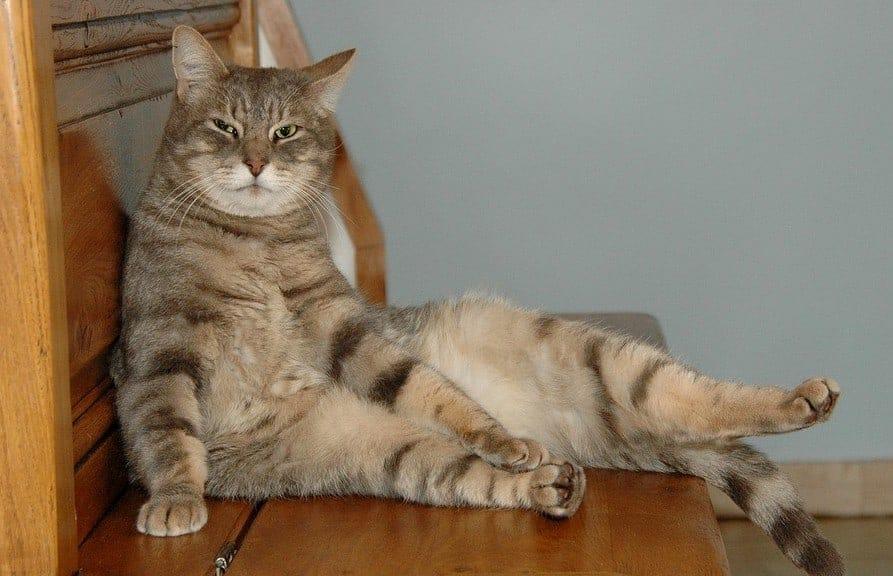Il carattere del gatto maschio