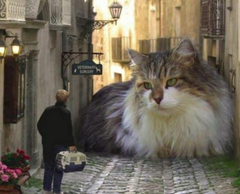 Gatti giganti i gatti più grandi del mondo