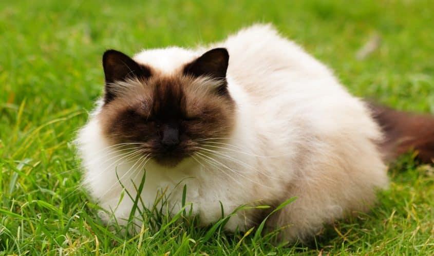 Il mantello del gatto himalayano