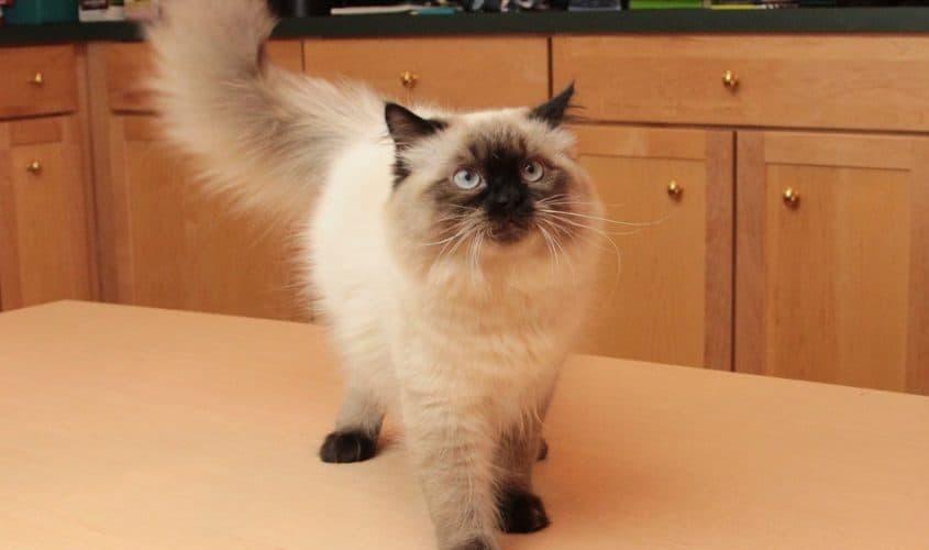 Il gatto himalayano