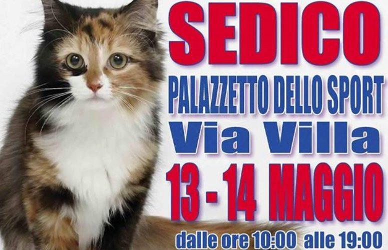 Expo felina Sedico-2017