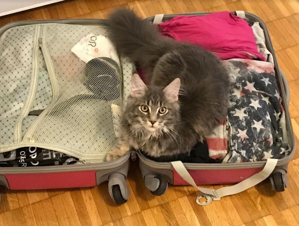 Maine coon in valigia