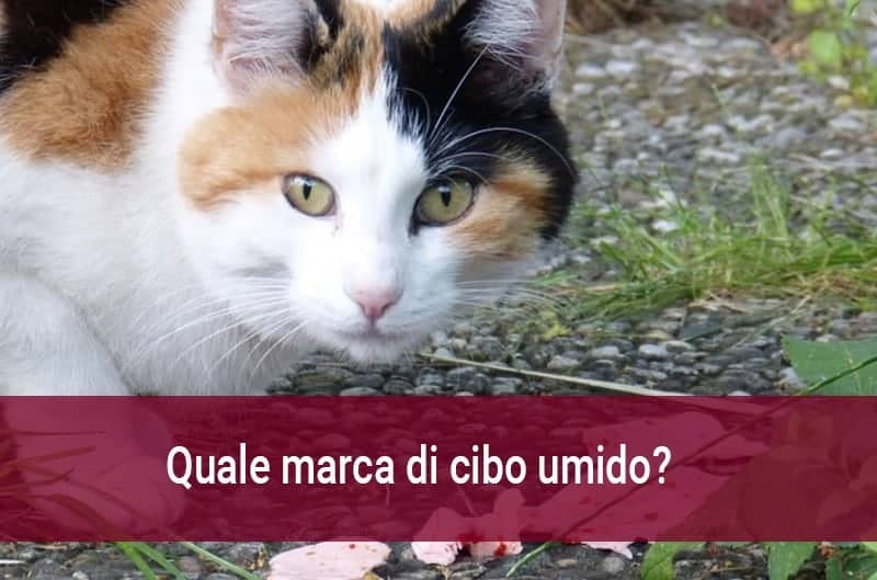 Miglior Cibo Umido Per Gatti Quali Marche Scegliere Miciogattoit