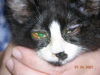 Questo gatto ha un'occhio ulcerato, una delle situazioni più gravi che possano capitare.