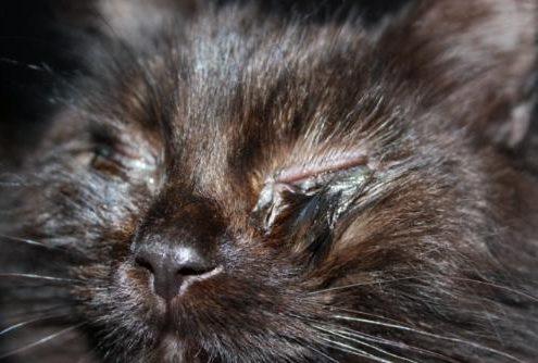 congiuntivite del gatto da Clamidia