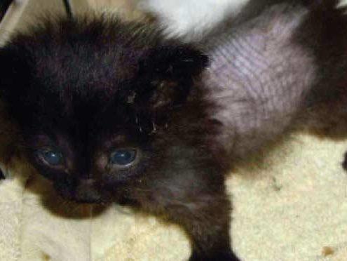 Alopecia Se Il Gatto Perde Il Pelo A Chiazze Miciogattoit