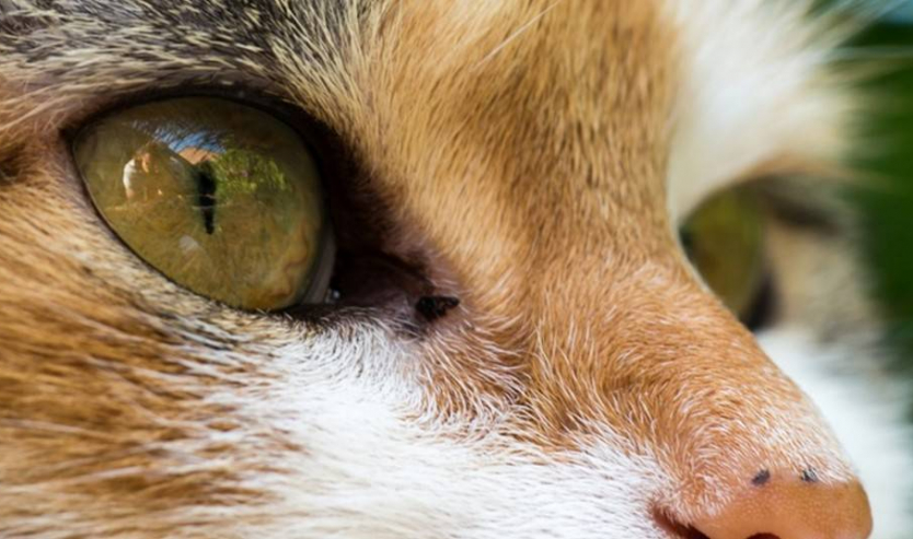 Congiuntivite del gatto