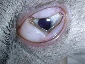 Congiuntivite del gatto con protrusione delle palpebre.