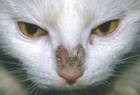 Foto della tigna sul gatto