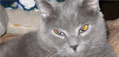 Congiuntivite del gatto: la terza palpebra