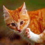 Acari delle orecchie del gatto