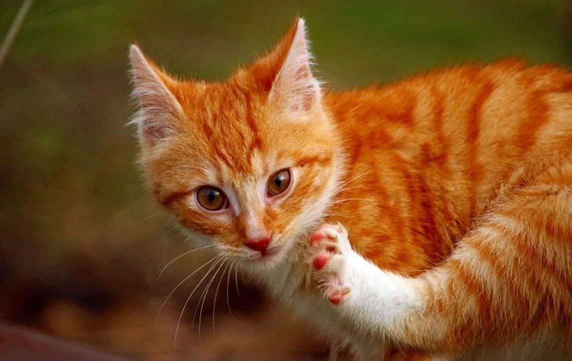 acari naso gatto