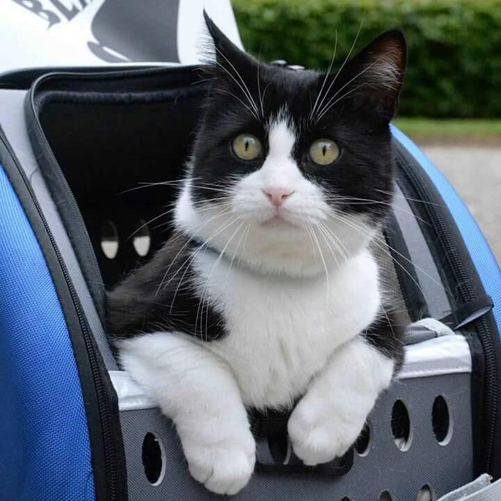 Felix gatto a trazione anteriore disabile