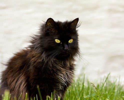 gatto tiffany chantilly