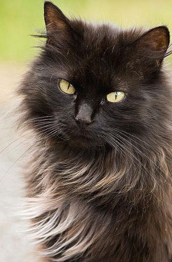 razza di gatto tiffany