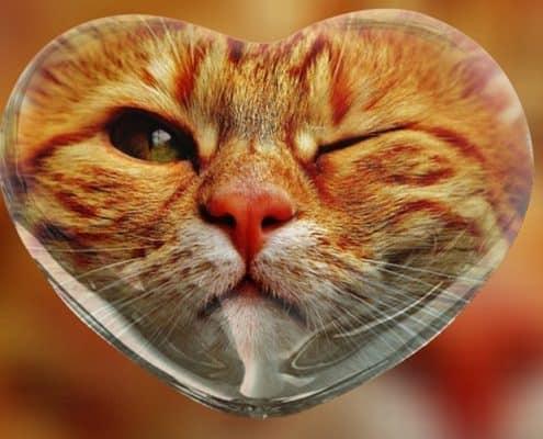 cardiomiopatia ipertrofica del gatto hcm