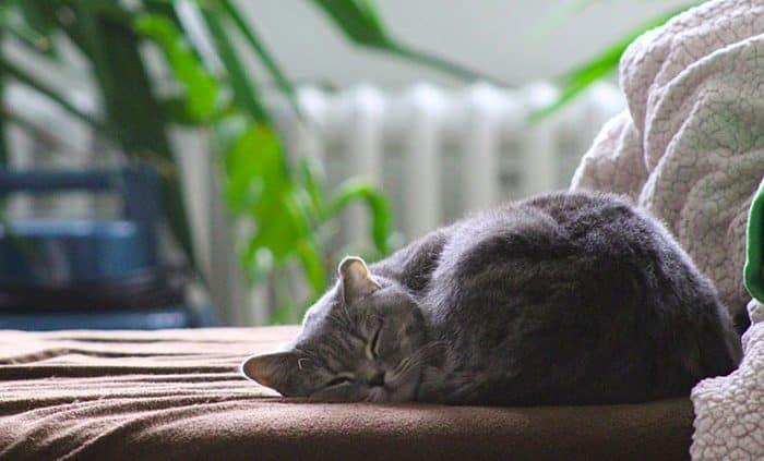 Gatti da appartamento quale razza