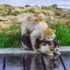 Accoppiamento tra gatti come avviene la loro riproduzione